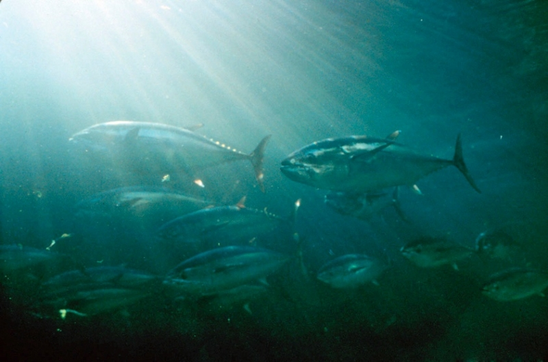 (Despite having few natural enemies, bluefin tuna are threatened by overfishing. Photo: NOAA)