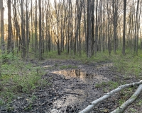 A shallow and humble vernal pool holds a secret under its surface - thousands of