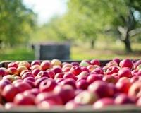 Apples in harvest
