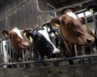 confined cows