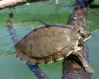 The Pearl River map turtle, unrecognized as a species by the U.S. government, ha