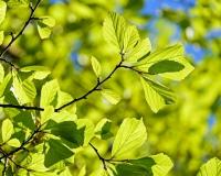 Leaves of an oak tree