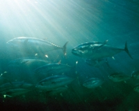 Despite having few natural enemies, bluefin tuna are threatened by overfishing (