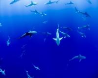 Sharks swimming in ocean